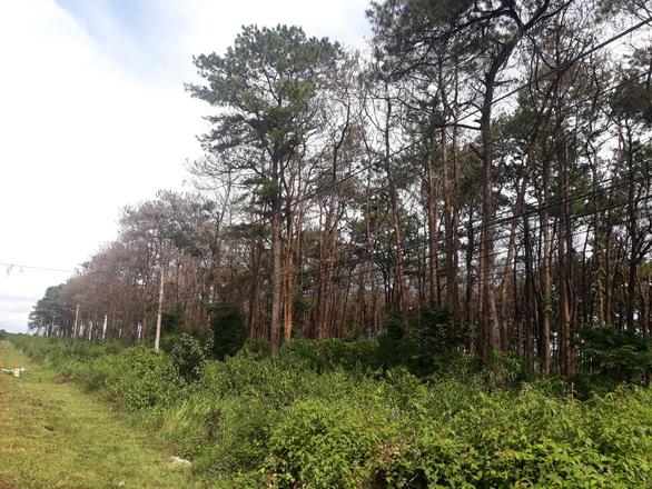 Thông non vừa trồng sau khi bị đầu độc ven quốc lộ 14 lại bị chặt phá - Ảnh 2.