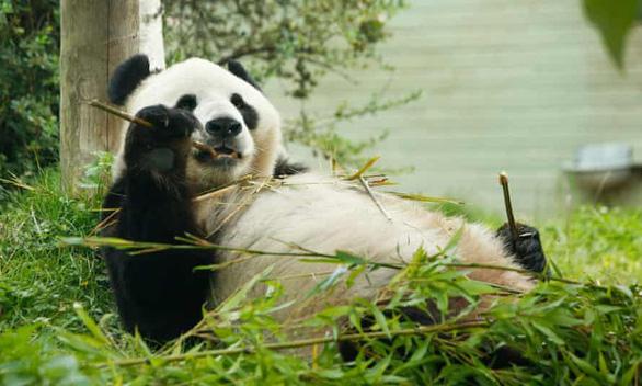Sở thú Anh tính trả gấu trúc thuê triệu đô cho Trung Quốc vì hết tiền - Ảnh 1.
