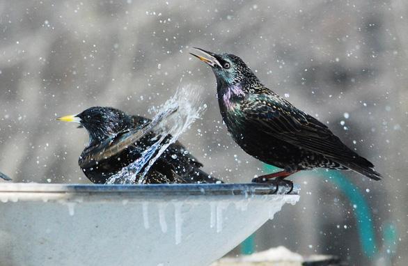 Bất ngờ chim sáo bơi điệu nghệ trong nước - Ảnh 2.