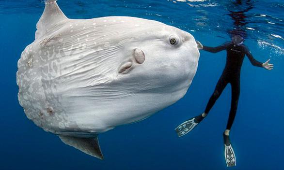 Loài cá quái vật nặng hàng tấn và siêu lười - Ảnh 1.