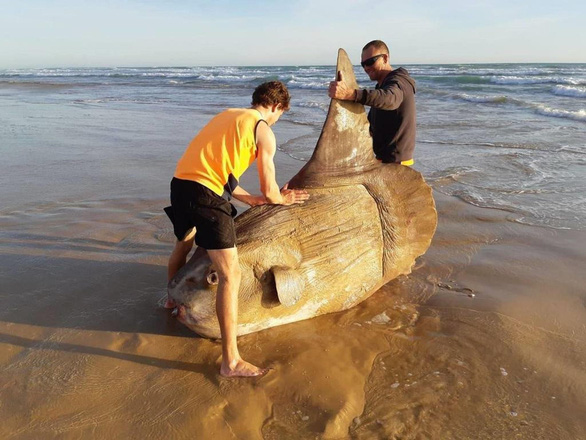 Loài cá quái vật nặng hàng tấn và siêu lười - Ảnh 3.