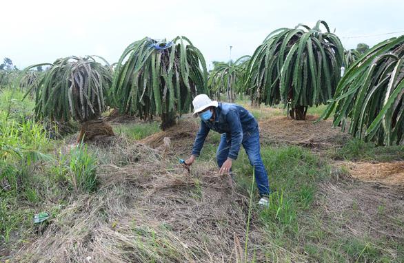 Dân trồng thanh long khổ sở vì nước từ mỏ đá Chóp Vung tràn ra ngập úng - Ảnh 3.