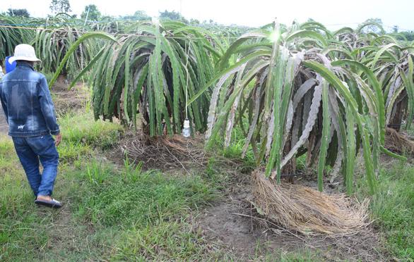 Dân trồng thanh long khổ sở vì nước từ mỏ đá Chóp Vung tràn ra ngập úng - Ảnh 2.