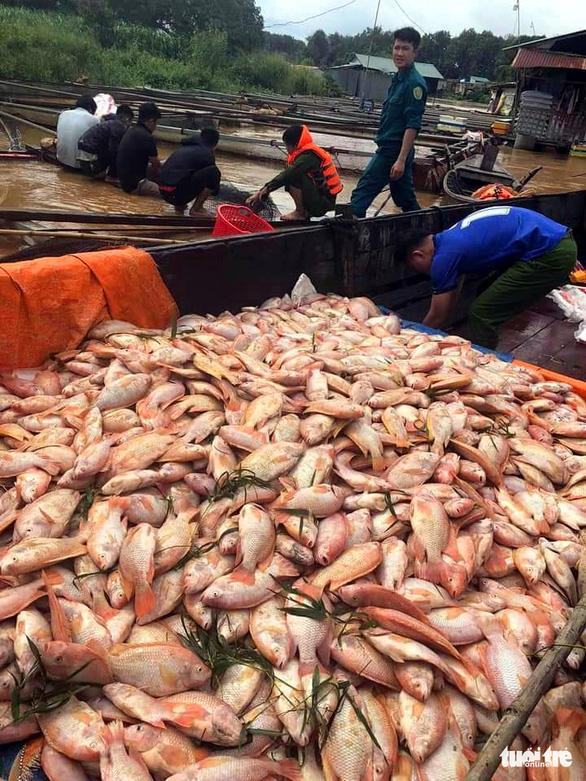 Mưa lũ, thủy điện xả nước dồn dập, hơn 750 tấn cá bè trên sông Đồng Nai chết trắng - Ảnh 1.