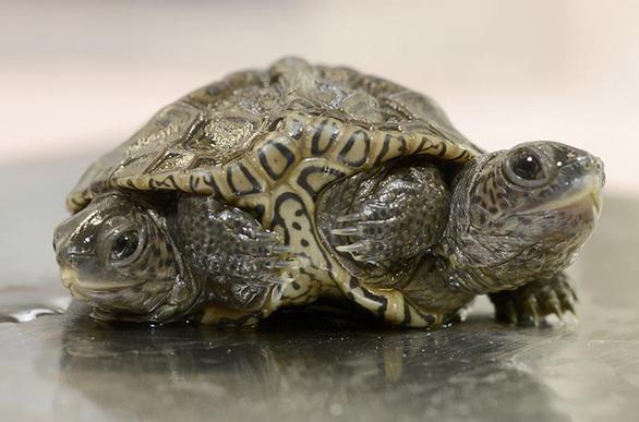 Phát hiện rùa kim cương hai đầu rất hiếm ở Mỹ - Ảnh 1.