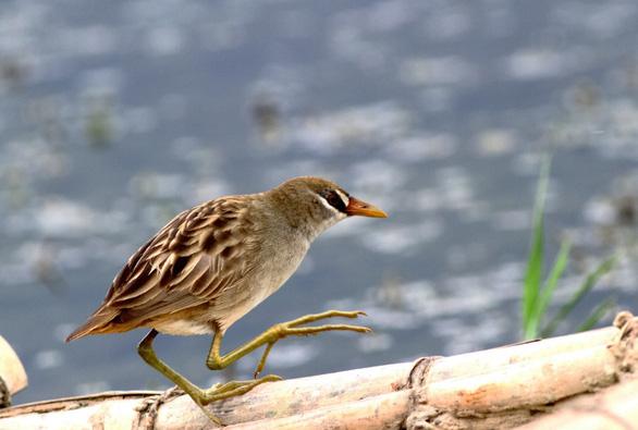 Sợ truông Nhà Hồ sợ phá Tam Giang - Kỳ 5: Đầm phá linh thiêng cho chim quý bay về - Ảnh 3.