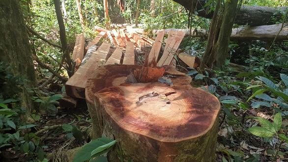 Điều tra, xử nghiêm vụ phá rừng tự nhiên ở Bắc Trà My - Ảnh 2.