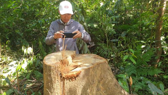 Điều tra, xử nghiêm vụ phá rừng tự nhiên ở Bắc Trà My - Ảnh 1.