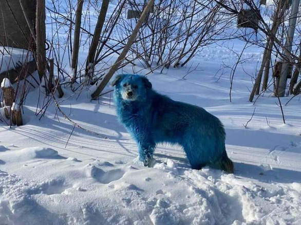 Bầy chó màu xanh gây sửng sốt ở Nga - Ảnh 2.
