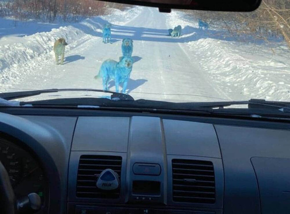 Bầy chó màu xanh gây sửng sốt ở Nga - Ảnh 1.