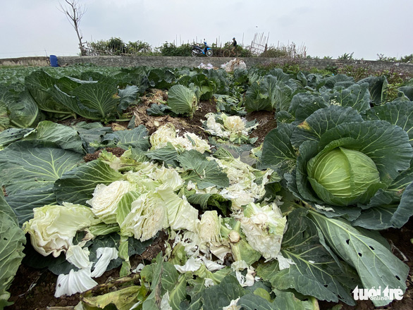 Nhà hàng, quán ăn đóng cửa, dân trồng rau Hà Nội đứt ruột ngóng thương lái - Ảnh 4.