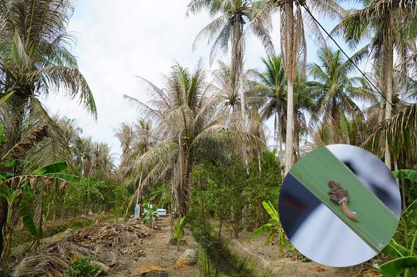 Sâu lạ tấn công dừa Bến Tre, có vườn phải đốn gần hết - Ảnh 1.