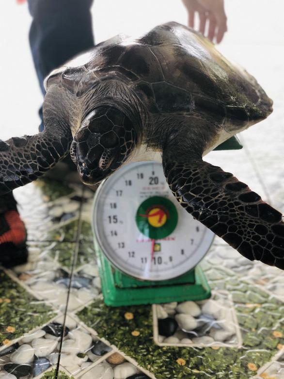 Khu bảo tồn Cù Lao Chàm tiếp nhận rùa biển thả về đại dương - Ảnh 1.