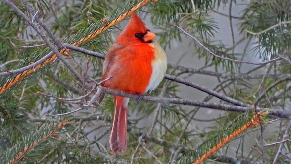 Phát hiện chim hồng tước nửa trống nửa mái cực kỳ quý hiếm - Ảnh 1.