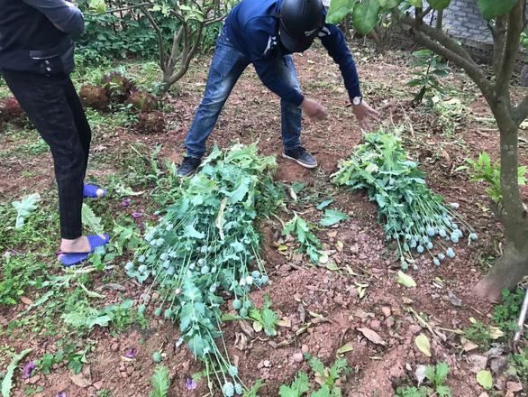 8 hộ trồng cây anh túc trong vườn để làm rau ăn, nuôi lợn - Ảnh 1.