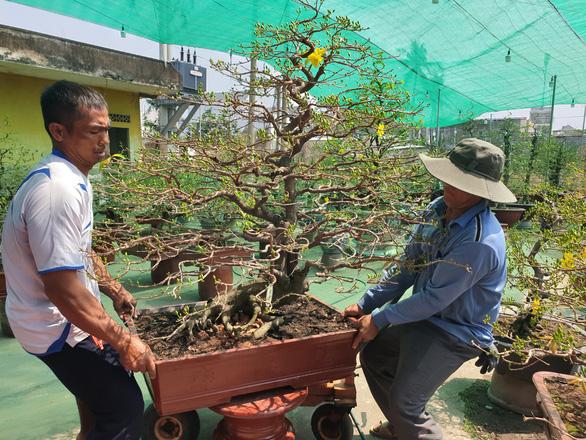 Thị trường mai tết sôi động dần, khách chuộng cây giá thấp - Ảnh 3.