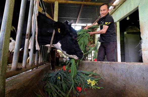 Nông dân cắt hoa layơn cho bò ăn thay cỏ - Ảnh 1.