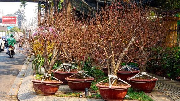Mang 1.000 cây đào vào Sài Gòn, 3 ngày bán được 10 cây... - Ảnh 1.