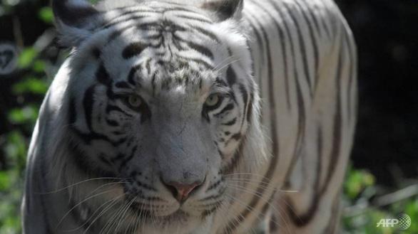 Hổ Bengal sổng chuồng làm loạn, Indonesia phải bắn hạ 1 con - Ảnh 1.