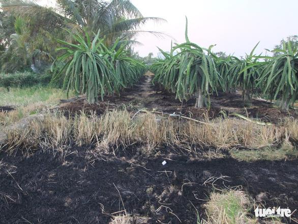 Vườn thanh long 3 năm tuổi bị kẻ gian đốt cháy khi đang trổ bông - Ảnh 1.