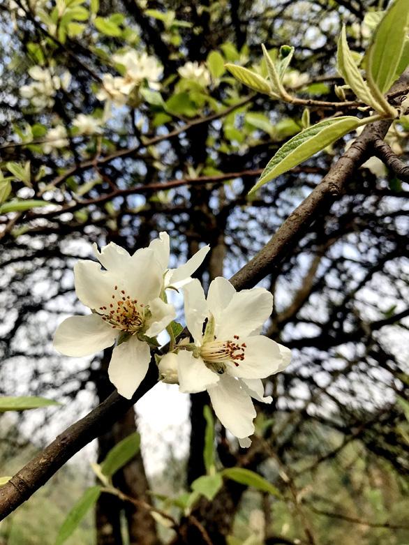Lên Tà Xùa ngắm rừng hoa táo mèo giữa lưng chừng trời - Ảnh 5.