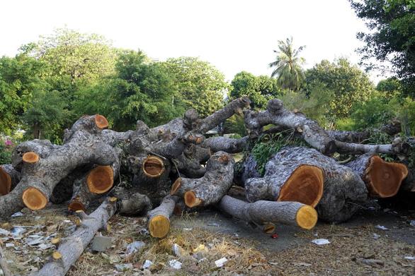 Bí thư Vũng Tàu nhận khuyết điểm không tuyên truyền vụ cưa hàng cây cổ thụ - Ảnh 3.