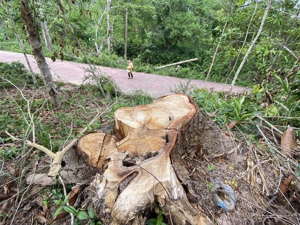 Dọn cây rừng sau bão ở di tích Mỹ Sơn đem bán khi chưa được phép - Ảnh 1.