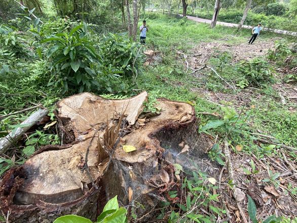 Dọn cây rừng sau bão ở di tích Mỹ Sơn đem bán khi chưa được phép - Ảnh 3.