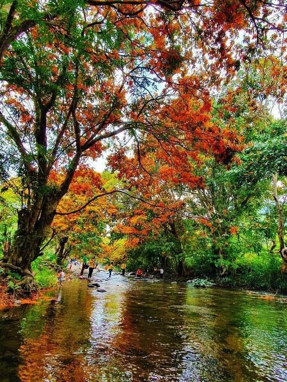 Suối Tà Má rực rỡ hoa trang rừng chưa bao giờ đẹp như năm nay - Ảnh 1.