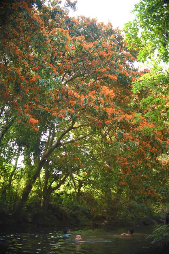 Suối Tà Má rực rỡ hoa trang rừng chưa bao giờ đẹp như năm nay - Ảnh 4.