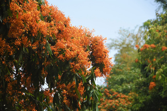 Suối Tà Má rực rỡ hoa trang rừng chưa bao giờ đẹp như năm nay - Ảnh 6.