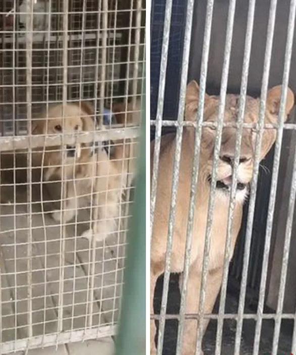 Sở thú Trung Quốc biến chó cảnh thành sư tử châu Phi để phục vụ du khách - Ảnh 1.