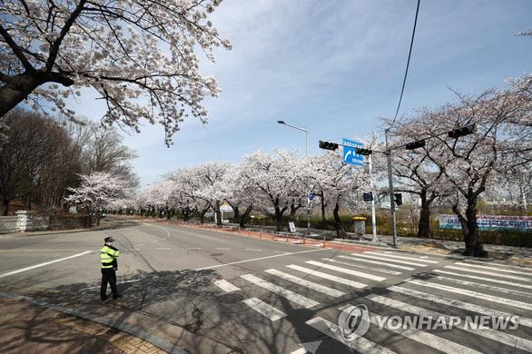 Người Hàn phải rút thăm để trúng thưởng ngắm hoa anh đào - Ảnh 4.