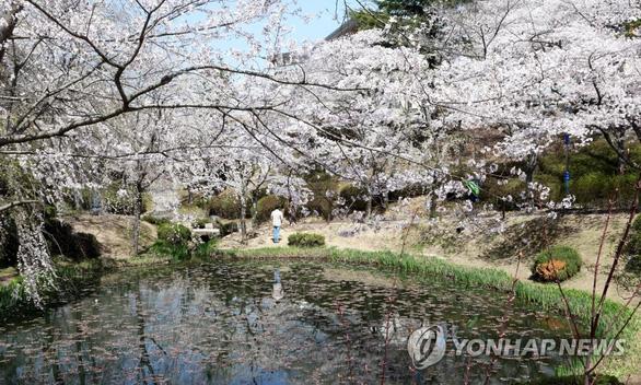 Người Hàn phải rút thăm để trúng thưởng ngắm hoa anh đào - Ảnh 6.