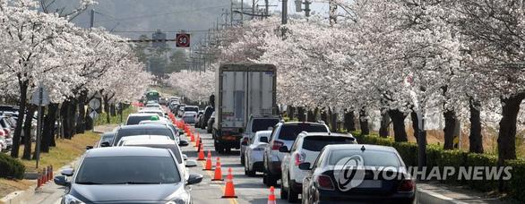 Người Hàn phải rút thăm để trúng thưởng ngắm hoa anh đào - Ảnh 2.