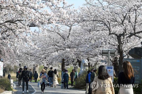 Người Hàn phải rút thăm để trúng thưởng ngắm hoa anh đào - Ảnh 1.