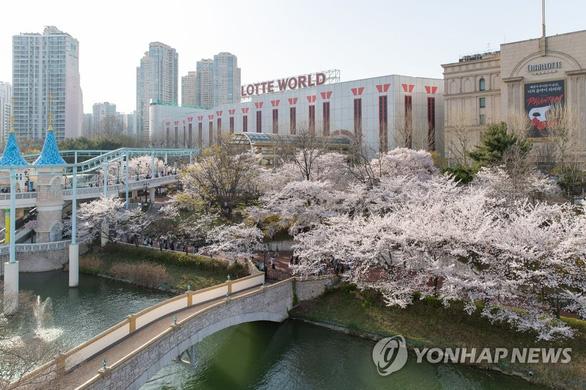Người Hàn phải rút thăm để trúng thưởng ngắm hoa anh đào - Ảnh 3.