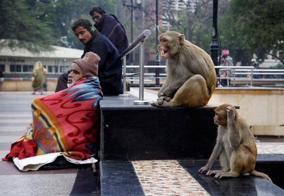 Dắt khỉ đi cướp ở thủ đô, 2 người đàn ông Ấn Độ bị bắt chờ ra tòa - Ảnh 1.