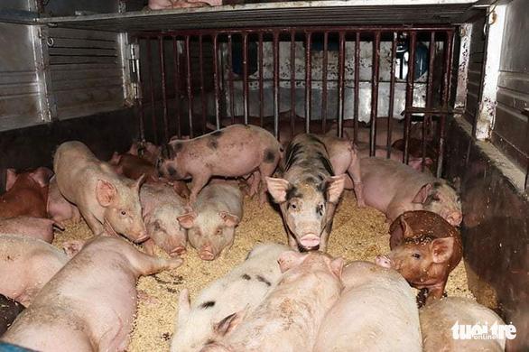 Bắt xe chở 50 con heo giống nhiễm bệnh từ Hà Tĩnh ra Hà Nam - Ảnh 2.