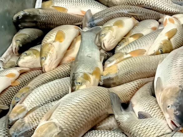 Cá lại chết hàng loạt trên sông Mã, hơn 14 tấn chỉ trong ngày 14-4 - Ảnh 1.