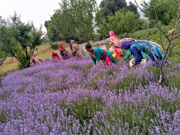 Nông dân Ấn Độ trồng hoa oải hương để đánh bại hạn hán - Ảnh 1.