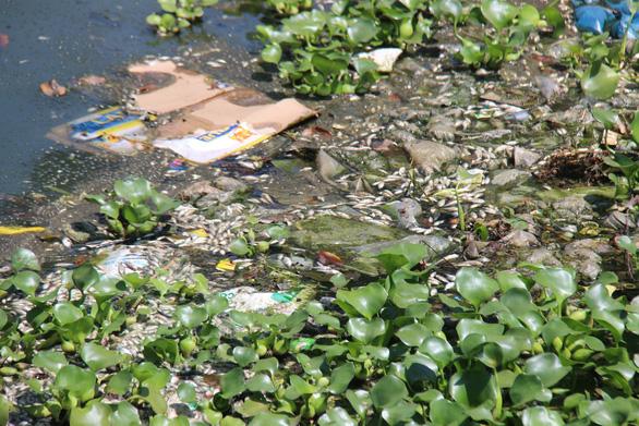Cá chết nổi trắng lòng hồ, bốc mùi nồng nặc giữa thành phố Tam Kỳ - Ảnh 3.