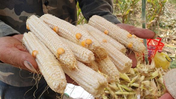 Khổ vì trồng bắp chỉ thu được... cùi - Ảnh 1.