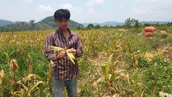 Khổ vì trồng bắp chỉ thu được... cùi - Ảnh 2.
