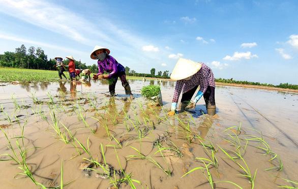 Cục Sở hữu trí tuệ: Chỉ bảo hộ giống lúa ST25, không thể bảo hộ gạo ST25 - Ảnh 2.