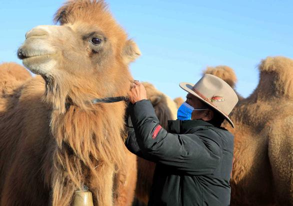 Nông dân Trung Quốc chăn bò, lạc đà từ xa qua vệ tinh - Ảnh 1.
