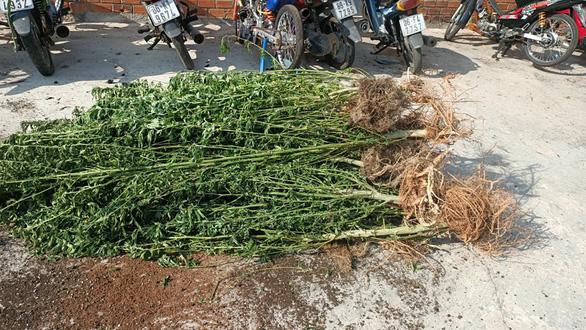 Trồng hàng trăm cây cần sa trong nhà, một người nước ngoài trưng giấy phép của... Canada - Ảnh 1.