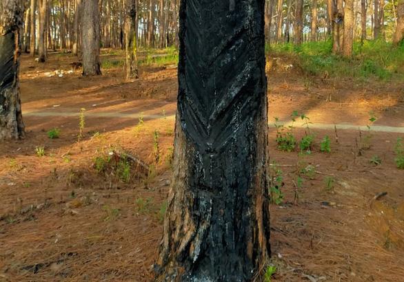 Hết khoan gốc hạ độc lại đốt phá rừng thông - Ảnh 2.