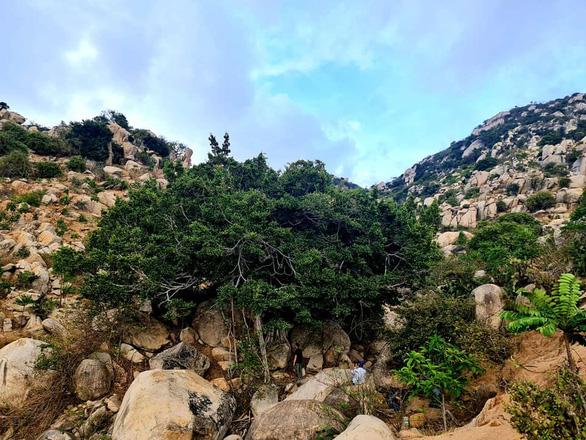 Rủ nhau gửi cây thanh thất đến Ninh Thuận để trồng rừng - giữ nước - Ảnh 3.