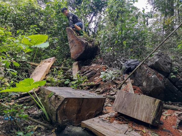 Chảy máu rừng đặc dụng Cham Chu - Cụ nghiến nghìn năm tuổi bị xẻ thịt - Ảnh 1.